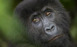 Protect gorillas on the brink of extinction - donate your old mobile phone today!